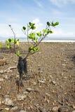 Albero delle mangrovie di inquinamento sulla linea costiera Fotografie Stock Libere da Diritti