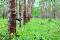Albero delle piantagioni di gomma con la tazza del lattice Immagine Stock Libera da Diritti
