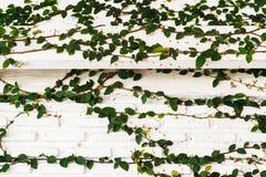Albero dello scalatore sulla parete Fotografia Stock