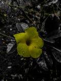 Albero dello Sri Lanka del fiore di kumbukkana della natura giallo fotografie stock libere da diritti