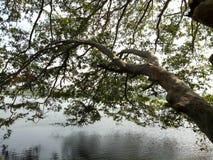 albero dello stagno Immagine Stock Libera da Diritti