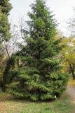 Albero di abete nel giardino botanico Fotografie Stock