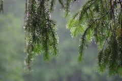 Albero di abete nella pioggia Immagine Stock