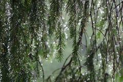 Albero di abete nella pioggia Fotografia Stock