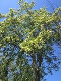 Albero di Accasia in parco Fotografia Stock Libera da Diritti