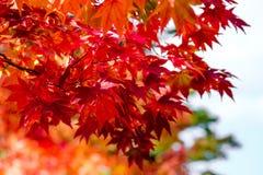 Albero di acero arancio nella stagione di autunno, nei colori luminosi del ramo di albero dell'acero in arancio, in rosso ed in g immagini stock libere da diritti