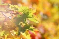 Albero di acero in autunno immagini stock
