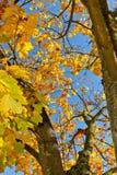 Albero di acero in autunno Fotografia Stock