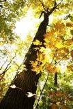 Albero di acero in autunno Immagini Stock Libere da Diritti