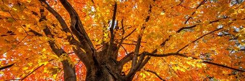 Albero di acero in autunno immagine stock
