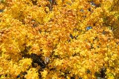 Albero di acero di autunno con le foglie gialle fotografia stock