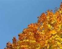 Albero di acero con le foglie di acero gialle di autunno Fotografie Stock