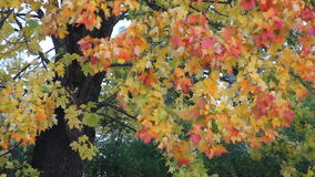 Albero di acero della foresta di autunno con le foglie dell'arancia e gialle archivi video