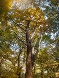 Albero di acero della natura di autunno in parco Immagini Stock
