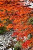 Albero di acero di Naejangsan Fotografia Stock Libera da Diritti