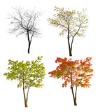 Albero di acero di quattro stagioni isoalted su bianco Fotografia Stock Libera da Diritti