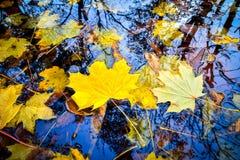 Albero di acero dorato di colore giallo di autunno del fogliame di caduta Fotografia Stock