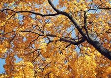 Albero di acero giallo in autunno Fotografia Stock