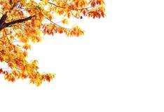 Albero di acero giallo isolato su bianco fotografia stock libera da diritti