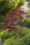 Albero di acero giapponese Manicured fotografia stock libera da diritti