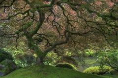 Albero di acero giapponese in primavera fotografia stock libera da diritti