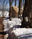 Albero di acero in primavera Fotografie Stock Libere da Diritti