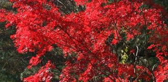 Albero di acero rosso Immagini Stock Libere da Diritti