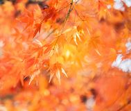 Albero di acero rosso con luce solare dorata e fondo vago, Giappone fotografie stock
