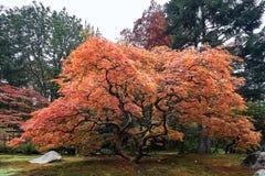 Albero di acero rosso giapponese durante la caduta in un giardino giapponese immagini stock libere da diritti