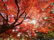 Albero di acero rosso nell'ambito di luce solare immagine stock