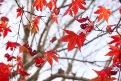 Albero di acero rosso, Tokyo, Giappone Fotografia Stock