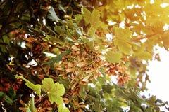 Albero di acero Samara Crop fotografie stock
