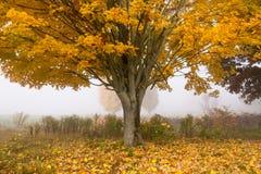 Albero di acero solo su una mattina nebbiosa di caduta nel Vermont, U.S.A. Immagine Stock Libera da Diritti
