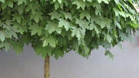 Albero di acero verde vicino ad una parete stock footage