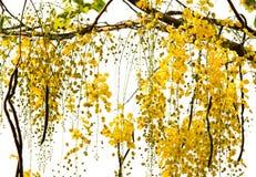 Albero di acquazzone dorato Fotografia Stock
