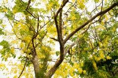 Albero di acquazzone dorato Immagine Stock Libera da Diritti
