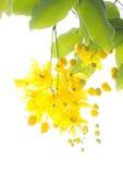 Albero di acquazzone dorato (fistola della cassia) Immagine Stock