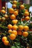 Albero di agrume con i mandarini maturi Immagini Stock Libere da Diritti