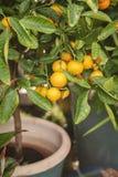 Albero di agrume miniatura immagine stock