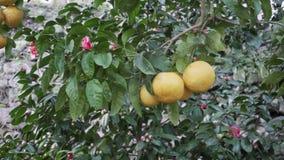 Albero di agrume nel giardino stock footage