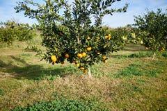 Albero di agrume in un frutteto di frutta su un'azienda agricola Fotografia Stock