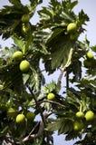 Albero di alberi del pane fotografie stock
