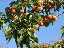 Albero di albicocca con la frutta Fotografie Stock Libere da Diritti