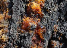 Albero di albicocca con resina fotografia stock