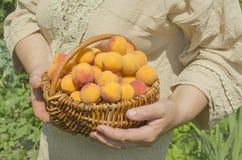 Albero di albicocca del raccolto dell'agricoltore Fotografia Stock