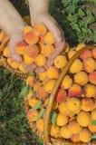 Albero di albicocca del raccolto dell'agricoltore Fotografie Stock