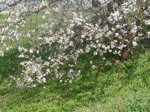 Albero di albicocca di fioritura della primavera Fotografia Stock Libera da Diritti