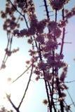 Albero di albicocca di fioritura in primavera fotografia stock