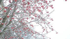 Albero di Ashberry nell'inverno video d archivio