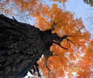 Albero di autunno Fotografia Stock